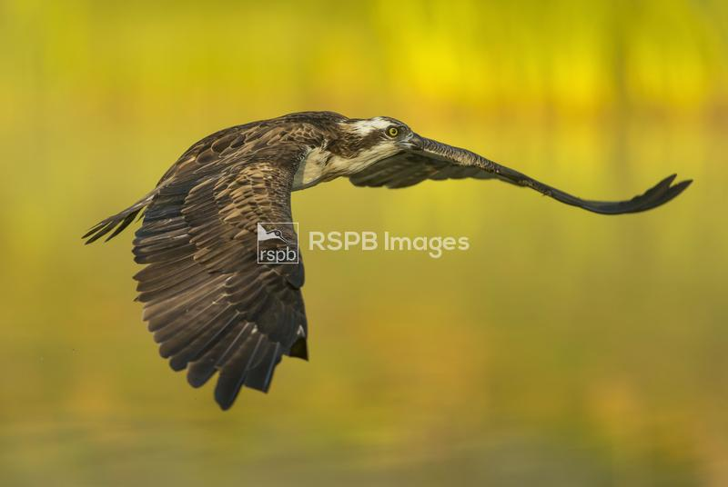 Osprey Pandion haliaetus, adult in low flight over water, Scotland, June ...