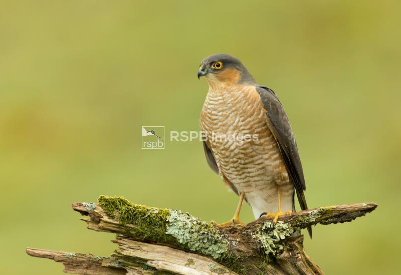 Sparrowhawk Accipiter nisus, male perched on an old mossy branch, Scotland, ...