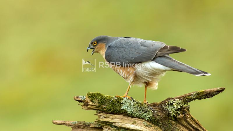 Sparrowhawk Accipiter nisus, male perched on an old mossy branch calling, S ...