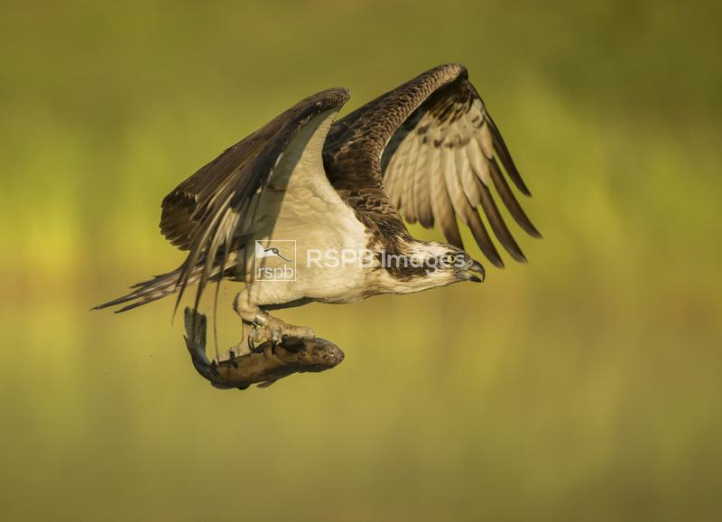 Osprey Pandion haliaetus, fishing at dawn trout in talons, Scotland, June ...