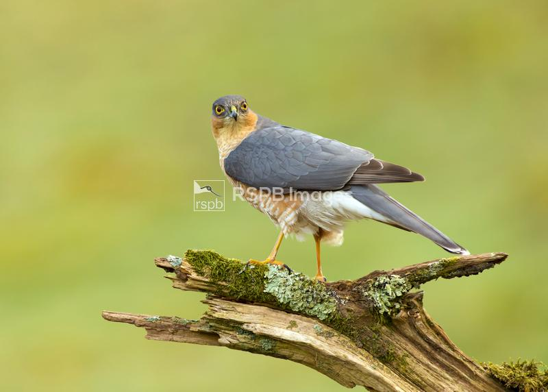 Sparrowhawk Accipiter nisus, male perched on mossy branch looking at camera ...