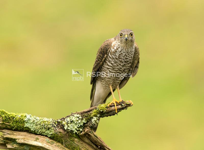 Sparrowhawk Accipiter nisus, young female perched on mossy branch looking a ...