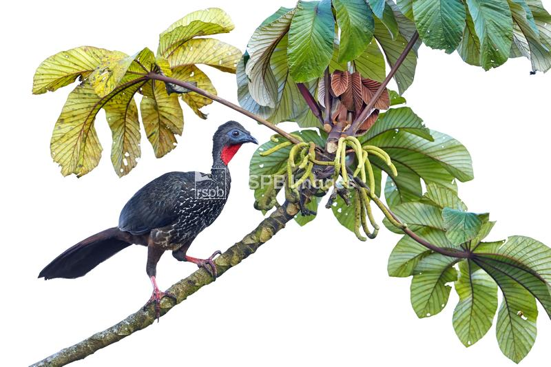 Crested guan Penelope purpurascens, perched in a tree backed against a whit ...