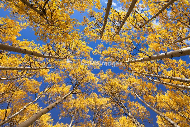 View looking up through autumnal Aspens Populus tremuloides in Colorado, US ...