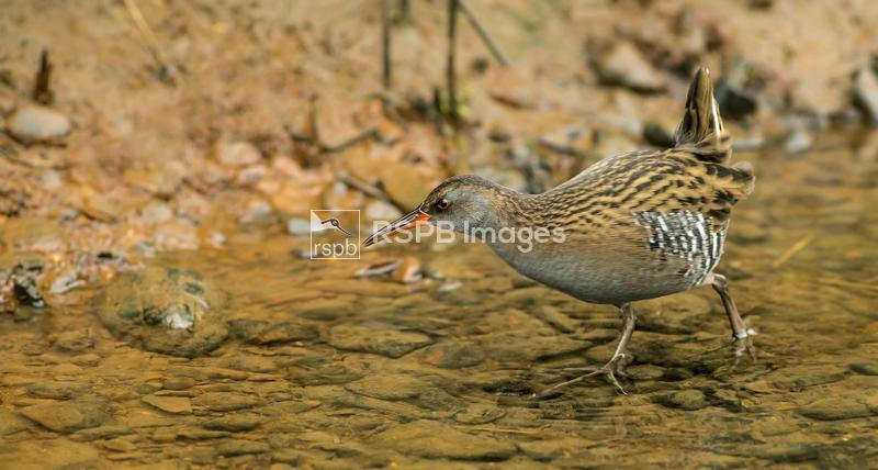 Water rail Rallus aquaticus, adult feeding in a stream out in the open, Sco ...