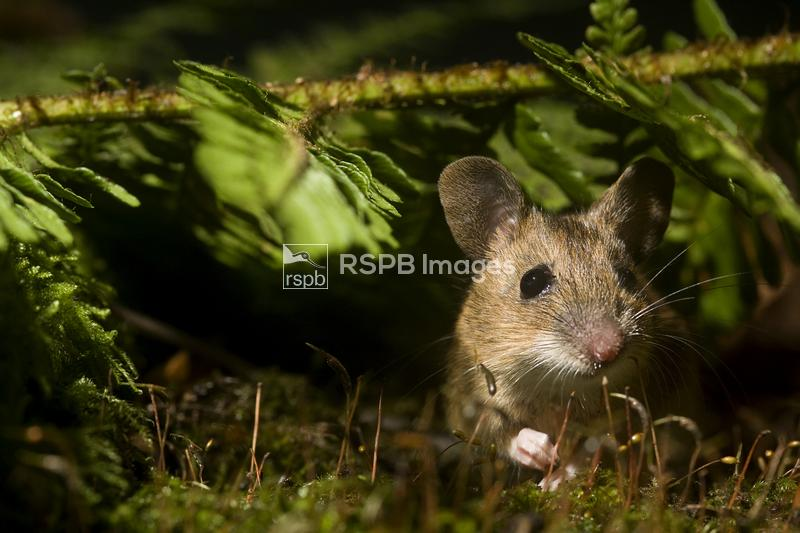 Yellow-necked field mouse Apodemus flavicollis, adult hiding on woodland fl ...