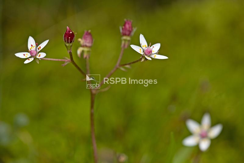 Starry saxifrage Saxifraga stellaris, fragile delicate flowers of a nationa ...