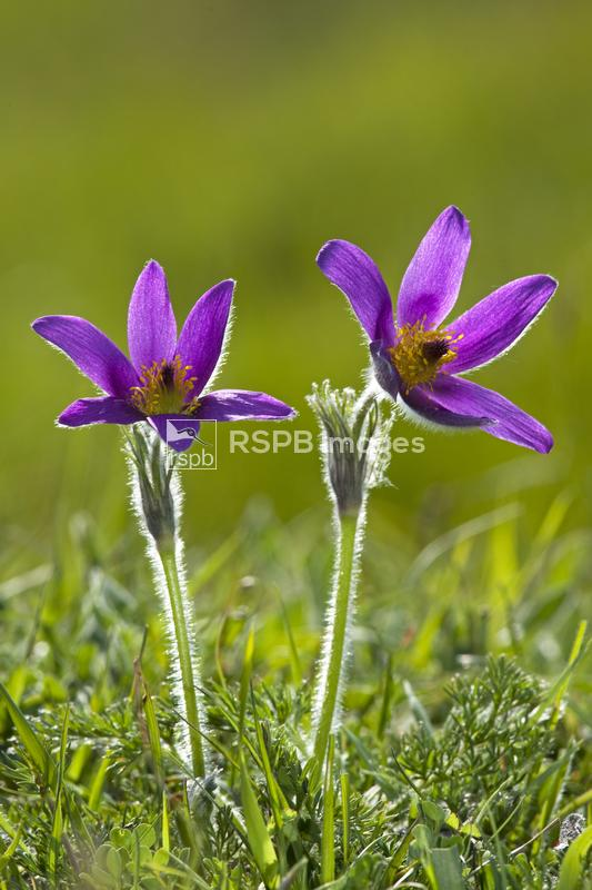 Pasque flower Pulsatilla vulgaris, backlit pair growing hairy and wild in o ...