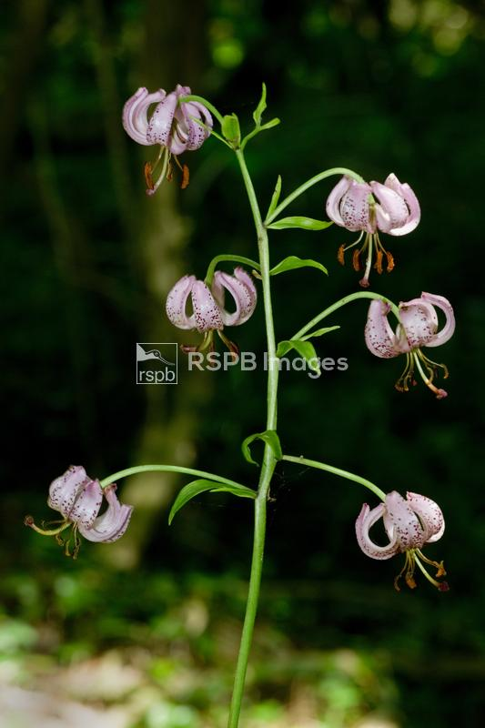 Martagon lily Lilium martagon, or Turk's Cap, rare native British specimen  ...