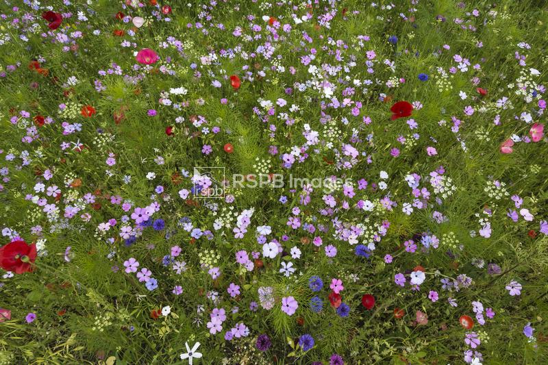 Bright colours of  mixed wildflowers sown as an insect friendly border, Nor ...