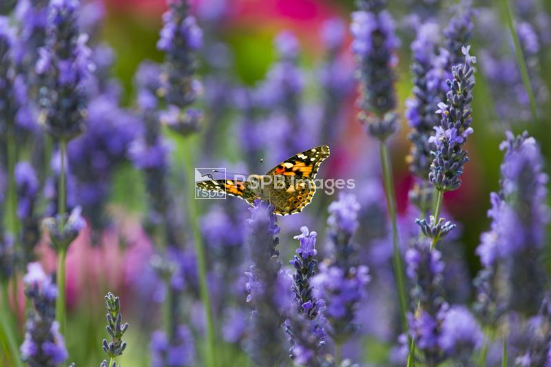 Painted lady butterfly Cynthia cardui, feeding on lavender flowers in garde ...