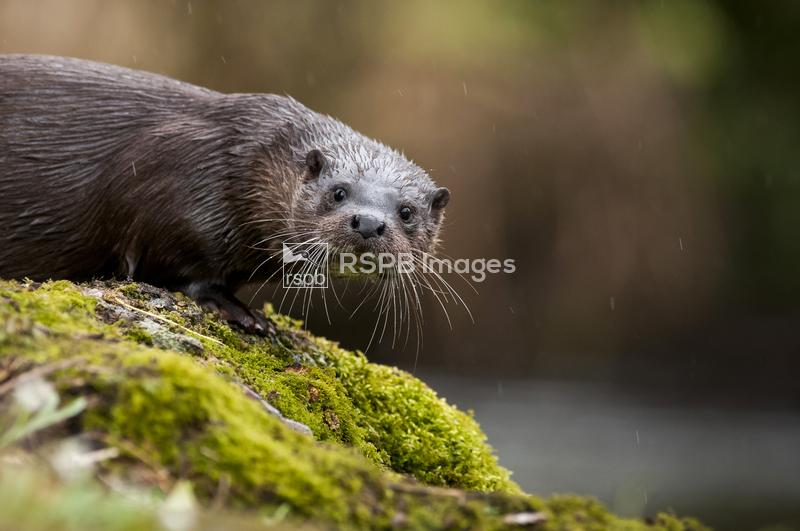 European otter Lutra lutra, on a river bank, Norfolk, March ...