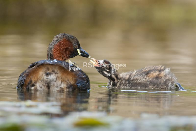 Little grebe or dabchick, Podiceps ruficollis, chick taking food from mothe ...