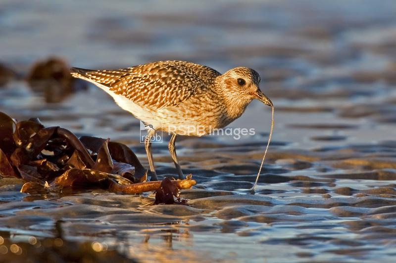 Grey plover Pluvialis squatarola, catching a lugworm from the sand, Isle of ...