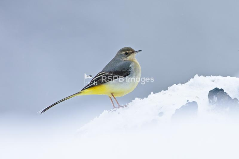 Grey wagtail Motacilla cinerea, on snowy log in winter conditions, Forest o ...