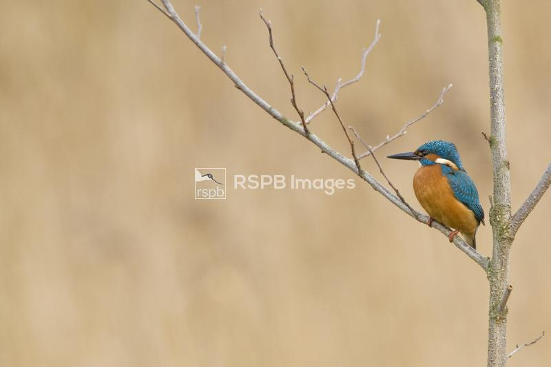 Kingfisher Alcedo athis, male in leafless silver birch in winter, Cardiff,  ...