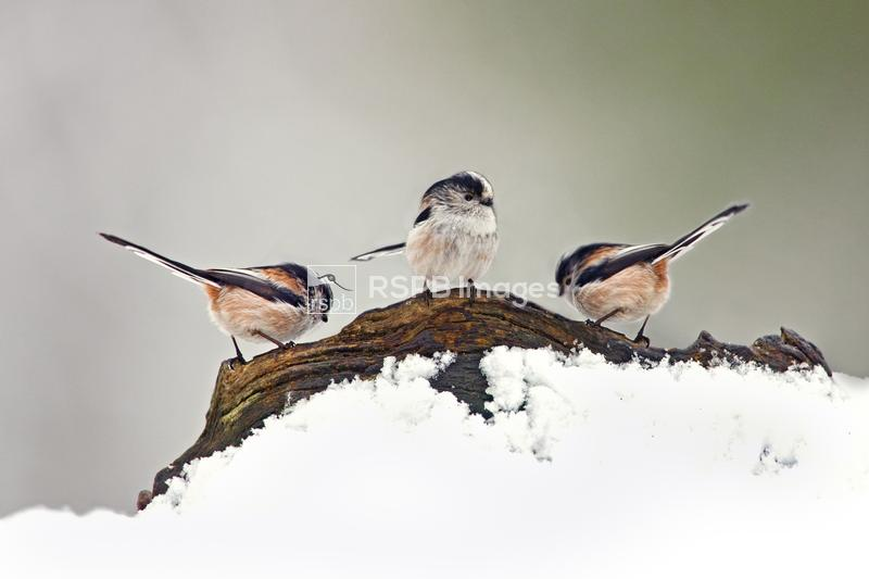 Long-tailed tit Aegithalos caudatus, three on snow covered log in winter, F ...