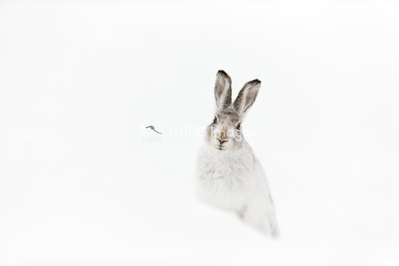 Mountain hare Lepus timidus, adult in white winter coat sitting on snow, Sc ...