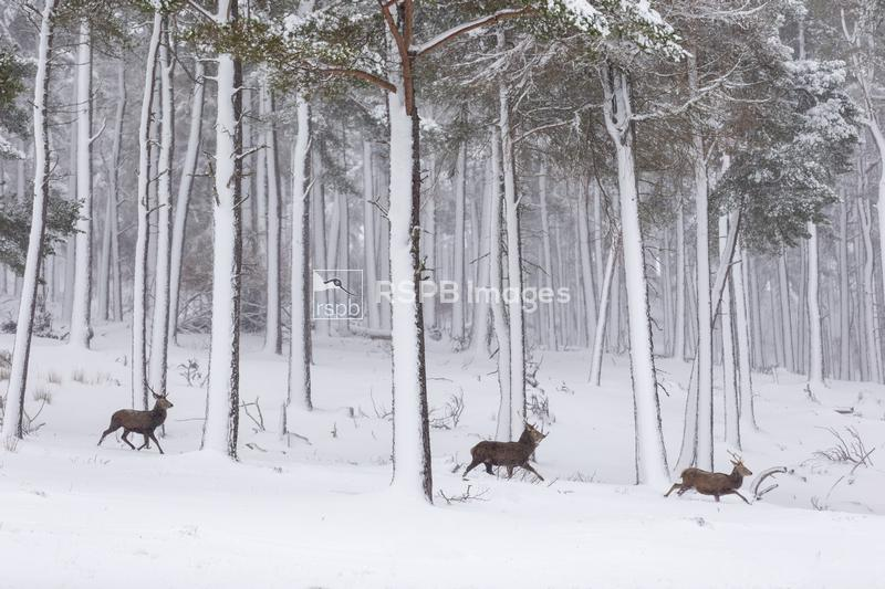 Red deer Cervus elaphus, three stags moving through snow-covered pine fores ...