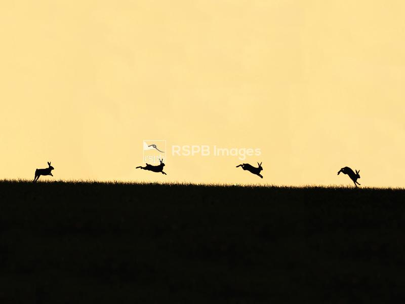 Brown hare Lepus europaeus, adult leaping at sunset, Suffolk, UK, June - co ...