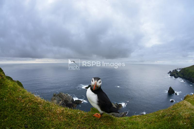 Puffin Fratercula arctica, adult on cliff top at Hermaness National Nature  ...
