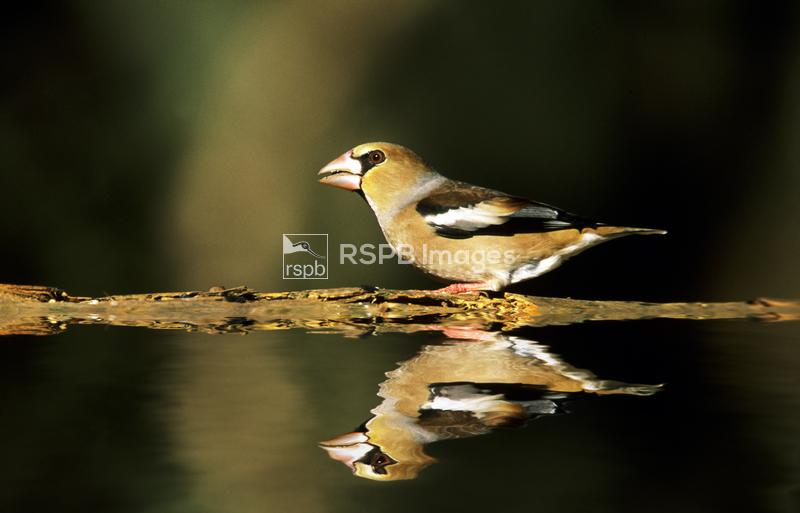 Hawfinch Coccothraustes coccothraustes, non-breeding adult male with pink b ...