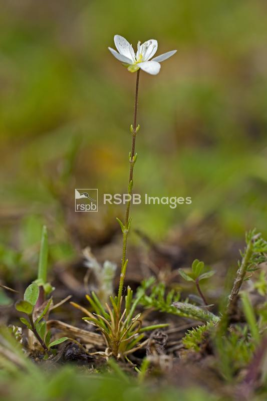 Knotted pearlwort Sagina nodosa, flower growing from forest floor, Forest o ...