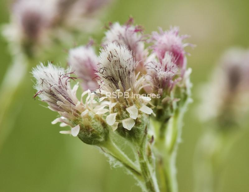 Mountain everlasting cat's-foot Antennaria dioica, close up of flower head, ...