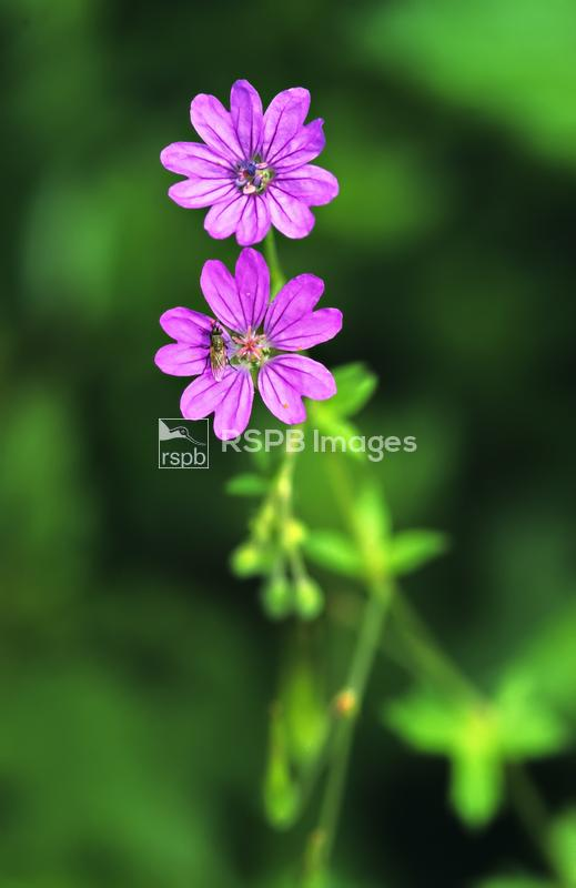 Dove's-foot cranesbill Geranium molle, two flowers with a Dagger fly Empis  ...