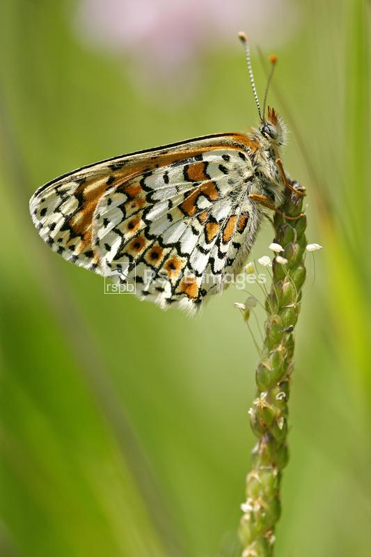 Glanville fritillary Melitaea cinxia, adult butterfly resting on plantain f ...