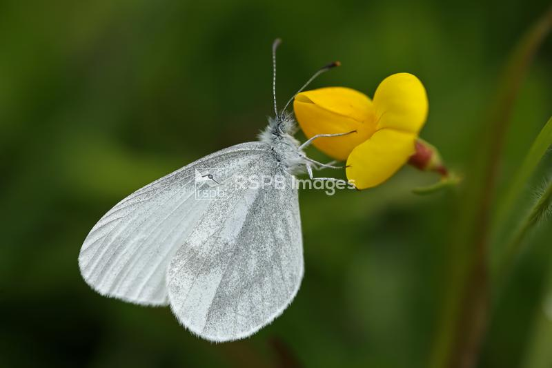 Wood white butterfly Leptidea sinapis, adult resting on Birdsfoot trefoil L ...