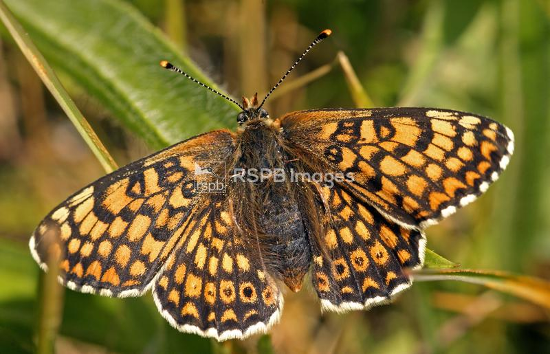 Glanville fritillary Melitaea cinxia, adult butterfly resting showing the s ...