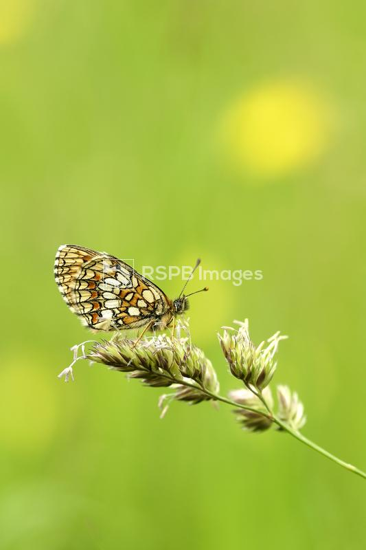 Heath fritillary Melitaea athalia, adult butterfly resting on flowering ste ...