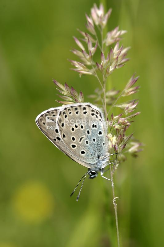Large blue Phengaris arion, adult at rest on Red fescue Festuca rubra, on r ...