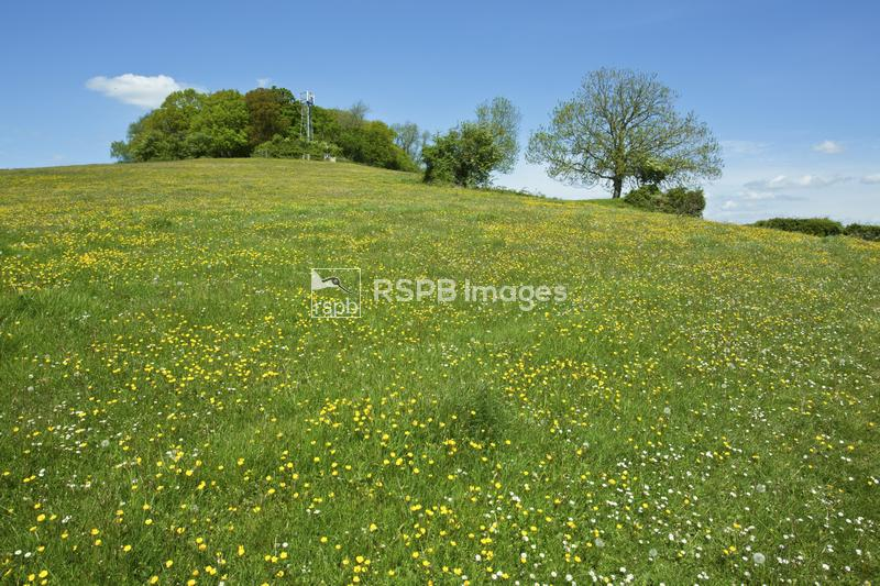 Meadow with mixed buttercups, daisy and dandelion below an ancient hilltop  ...