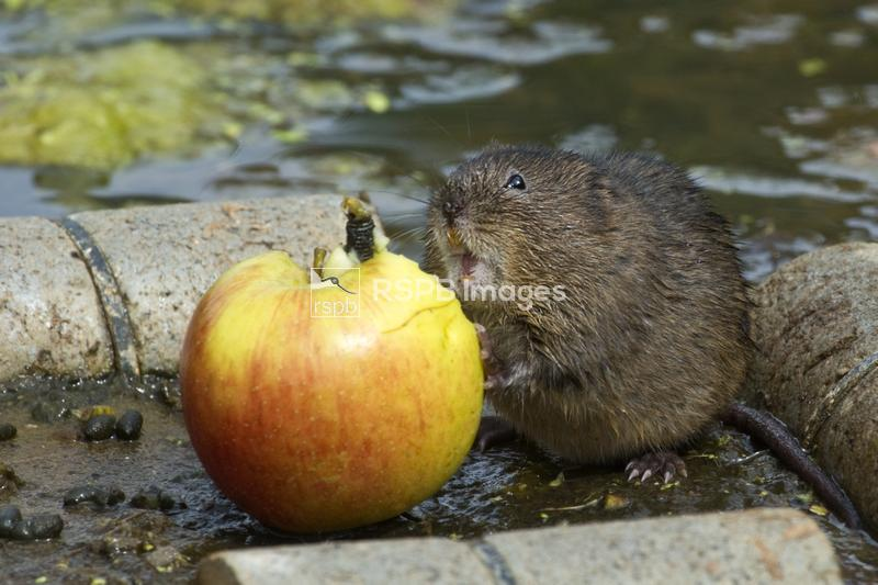 European water vole Arvicola amphibious, adult on viewing raft with apple f ...