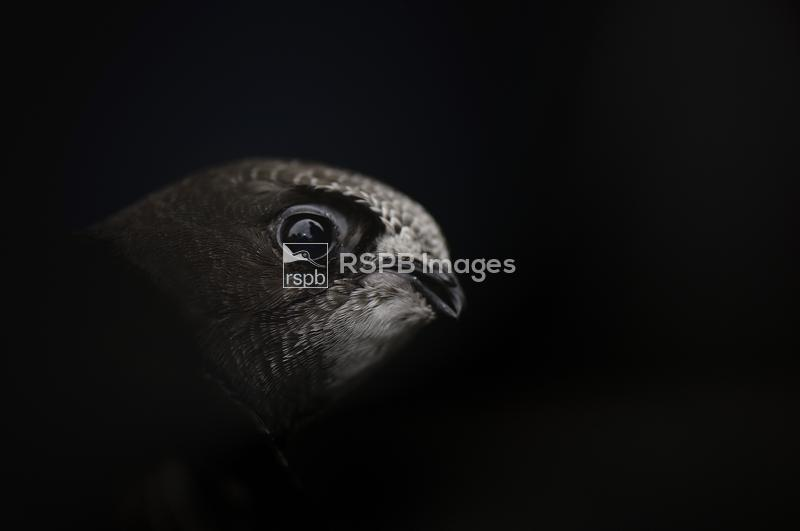 Common swift Apus apus, close up of head of an individual being rehabilitat ...