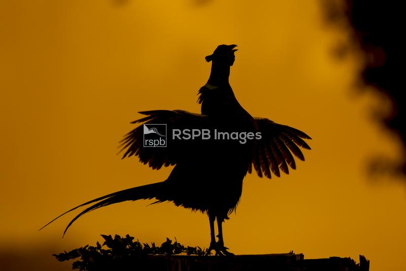 Pheasant Phasianus colchicus, adult male calling from a tree stump at sunri ...