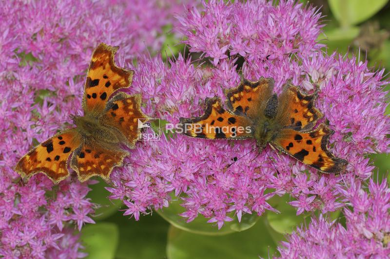 Comma butterflies Polygonia c-album, feeding on Sedum flowers in garden, Be ...