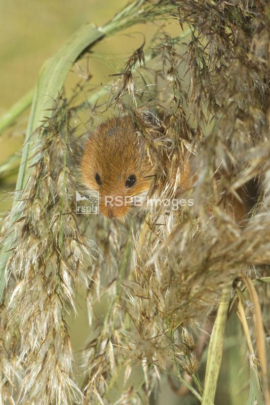 Harvest mouse Micromys minutus, adult hiding in phragmites reed, Magor Mars ...