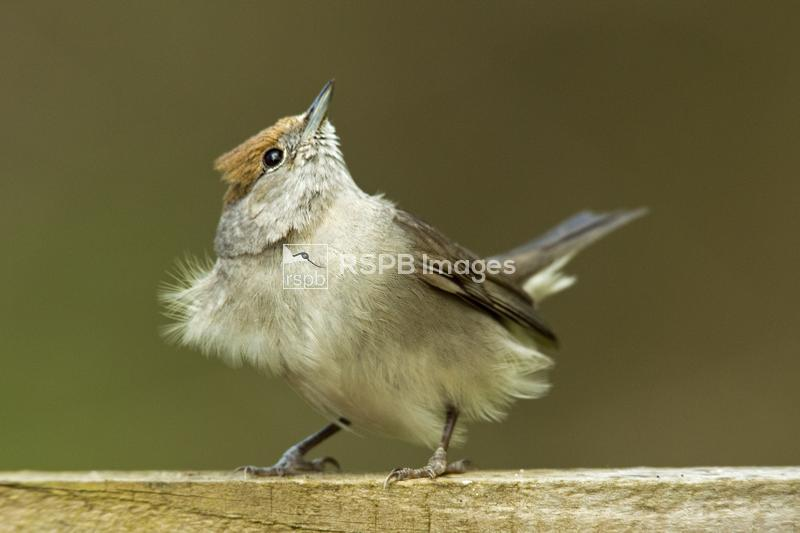 Blackcap Sylvia atricapilla, adult female looking skywards, Chepstow, Monmo ...