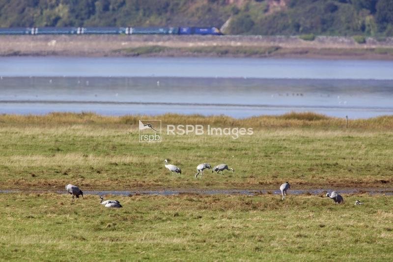 Common crane Grus grus, group feeding on The Dumbles at Slimbridge, River S ...