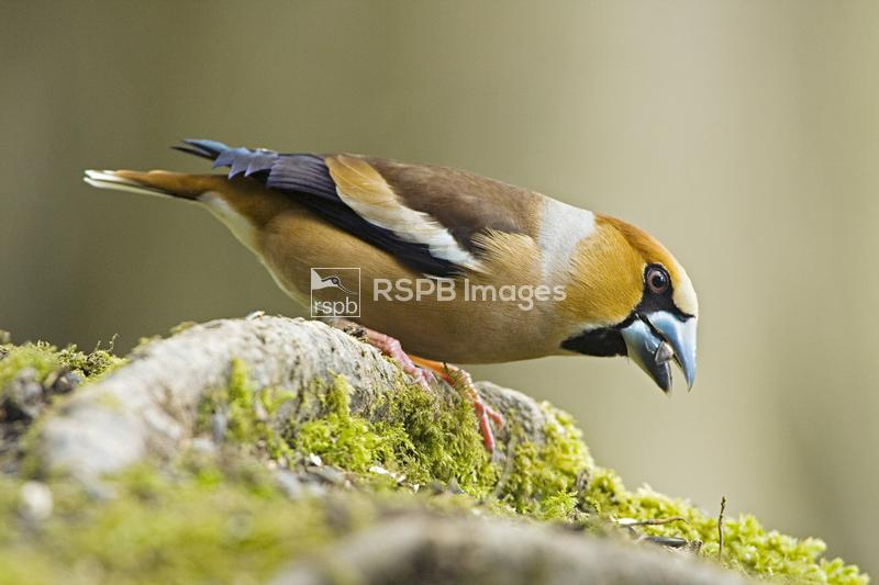 Hawfinch Coccothraustes coccothraustes, adult male on hornbeam root, Forest ...