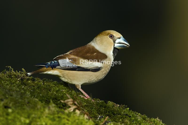 Hawfinch Coccothraustes coccothraustes, adult standing on mossy forest floo ...