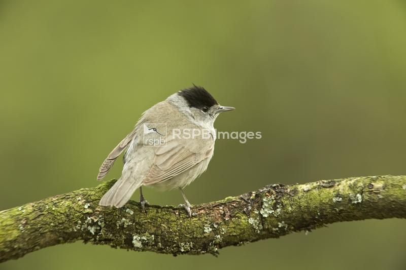 Blackcap Sylvia atricapilla, male perched on branch, Chepstow, Monmouthshir ...