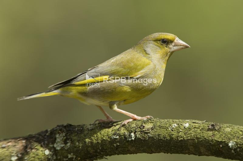 European greenfinch Cardeulis chloris, adult male on branch, Forest of Dean ...