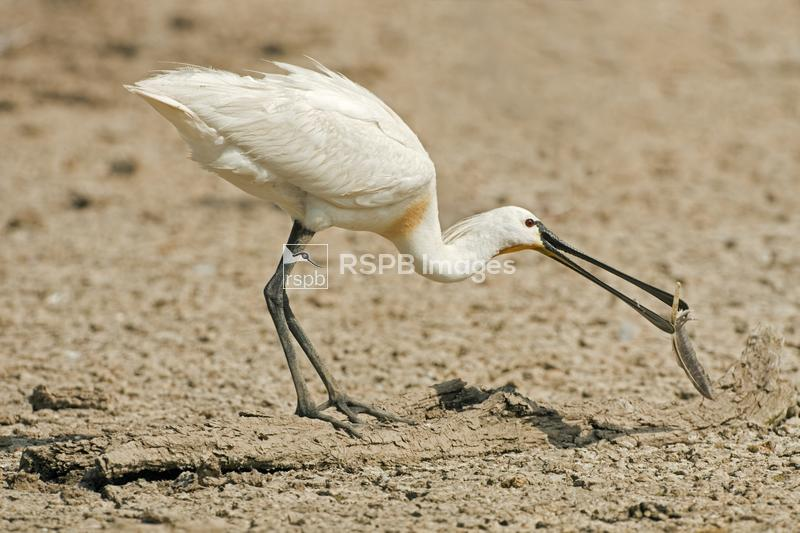 Spoonbill Platalea leucorodia, adult on dry lake bed playing with feather i ...