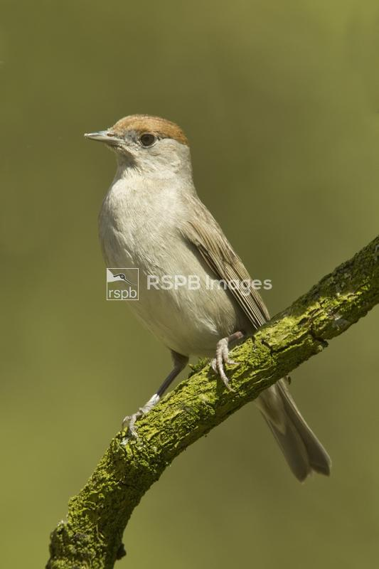 Blackcap Sylvia atricapilla, adult female perched on branch, Chepstow, Monm ...