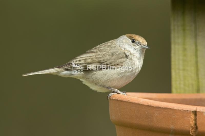 Blackcap Sylvia atricapilla, adult female perched on terracotta pot in gard ...