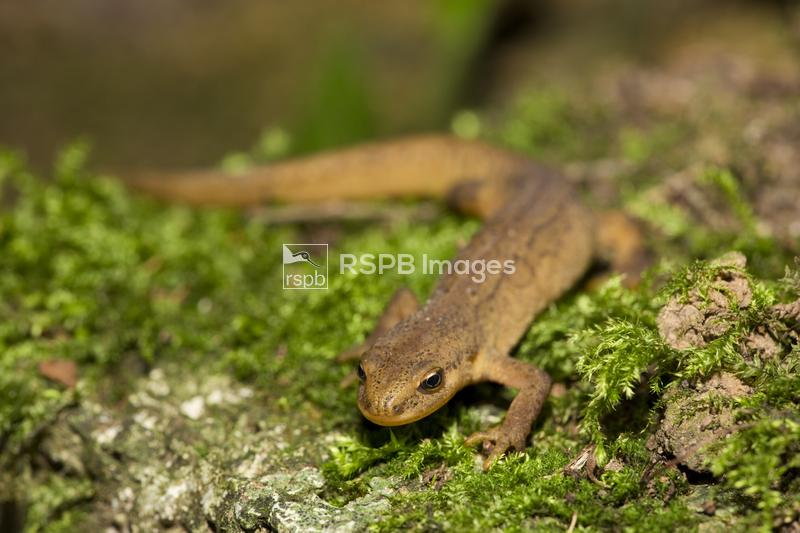 Palmate newt Lissotriton helveticus, adult female outside of breeding seaso ...